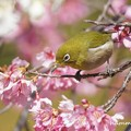 写真: メジロと早春桜