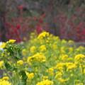 写真: 福島 花見山公園 130422 06