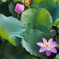 写真: 鶴岡八幡宮の蓮