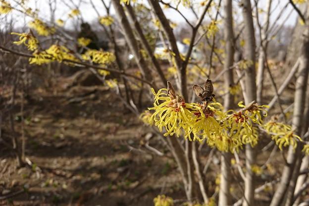 マンサクの春