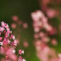 写真: 桃色の星々