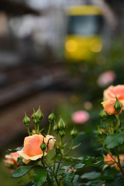 ~ 満開までもう少し ~ 都電荒川線の薔薇