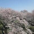 写真: 足利千歳町袋川の桜?2015.3.30