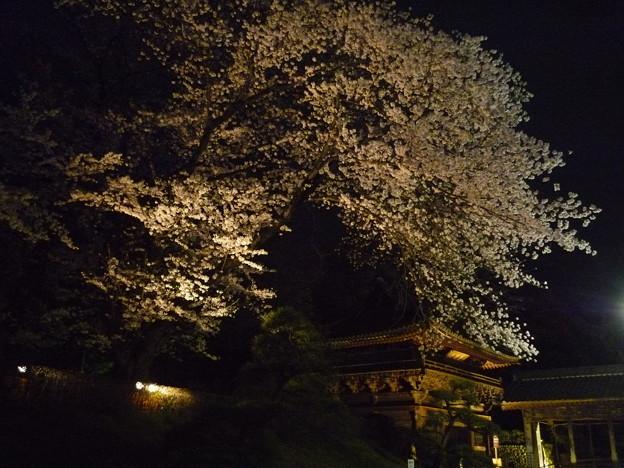 写真: 鑁阿寺の夜桜?2015.4.2