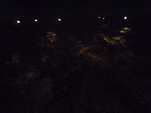 写真: 鑁阿寺の夜桜に泳ぐ錦鯉2015.4.2