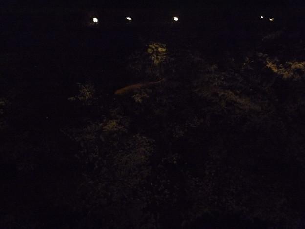 写真: 鑁阿寺の夜桜に泳ぐ錦鯉?2015.4.2