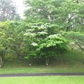 写真: 足利城ゴルフ倶楽部8番ホールホールインワン記念樹の「山ぼうし」2015.5.16