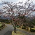 写真: 足利カントリークラブ多幸コースサウス前の桜2017.4.6