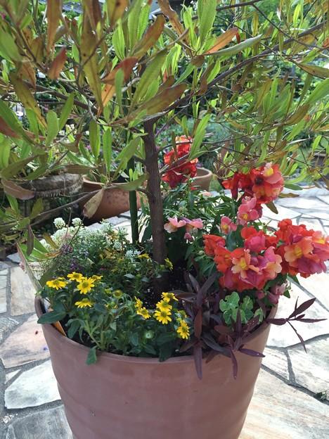 Photos: 金魚草の寄せ植え