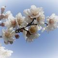 Photos: ほんのりと薫る春。