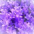 写真: とても美しい春のカンパニューラに乾杯 ♪