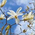 写真: 春風のなかコブシきらめき香る ♪