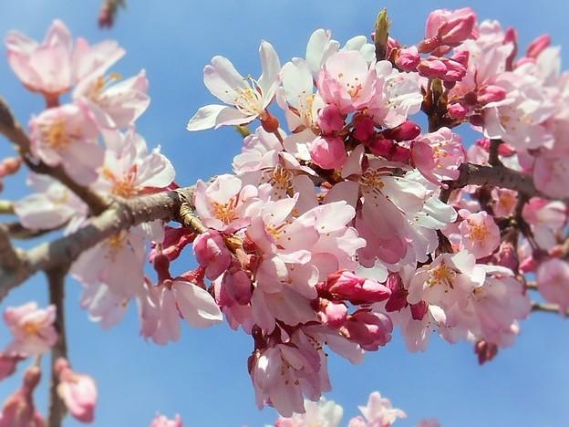三春滝桜(子孫樹)は薄紅色 ♪