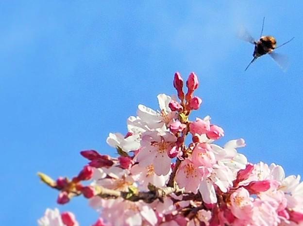 三春滝桜(子孫樹)に大きいのがブーンとやって来た ♪
