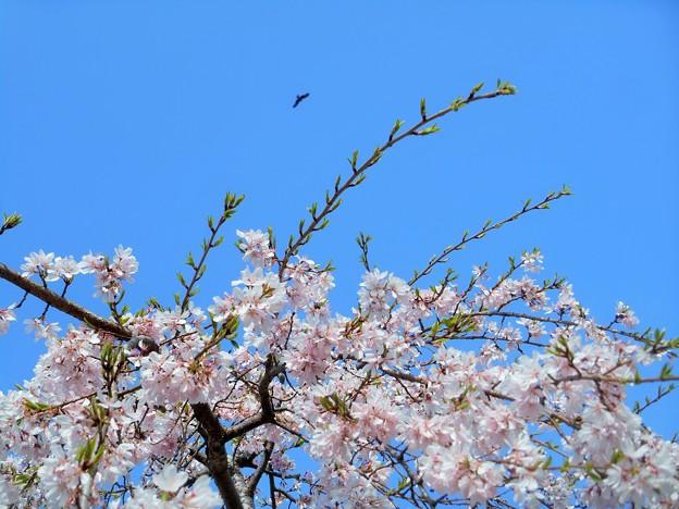 三春滝桜(子孫樹)の上空に ♪