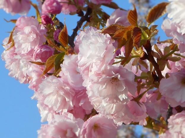 春のうららの備後路に 牡丹桜が麗しく ♪
