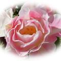 麗らかな春のチェリー&ピーチカラー ♪ (八重咲きチューリップ・アンジェリケ)