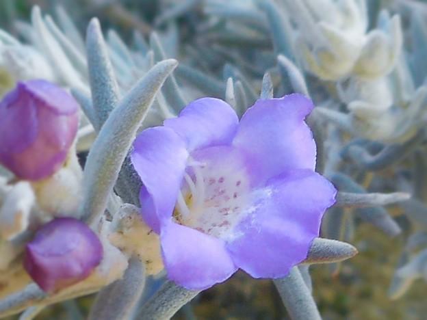 ニョキニョキと角が沢山ある釣鐘状の小さな薄紫色の花 ♪