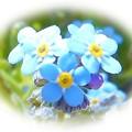 Photos: 水色の極小の花々 ♪