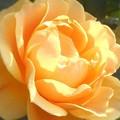 Photos: 風薫る五月のおしゃれな薔薇たち ♪