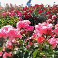 Photos: 風薫る五月の薔薇たち in 福山ばら祭2015