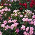 Photos: 馨(かぐわ)しい薔薇の花園