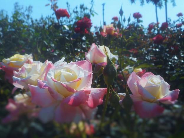 ヒロシマ チルドレンと紅いバラ