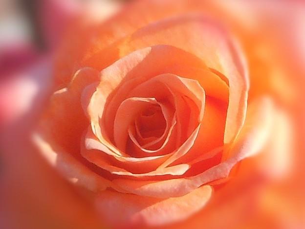 とてもチャーミングな薔薇