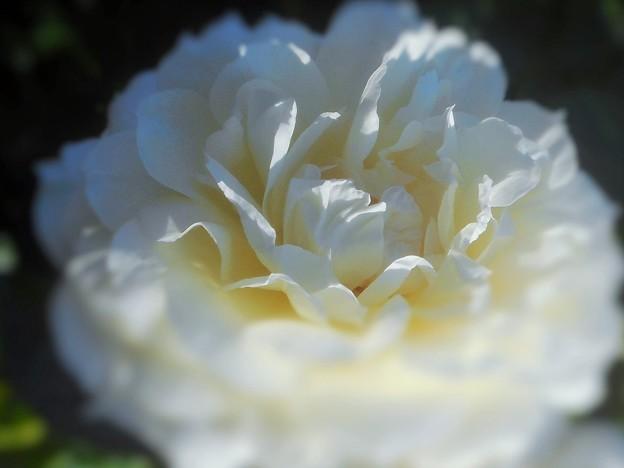 """白い薔薇 """"チャイコフスキー"""""""