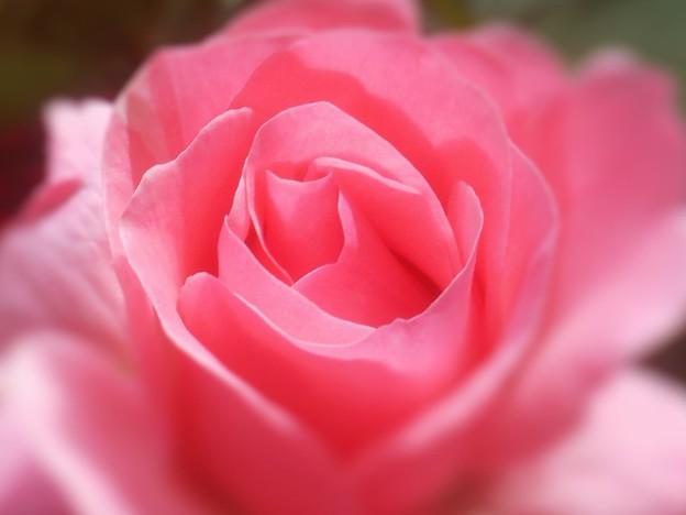 ローズアリーナの薔薇