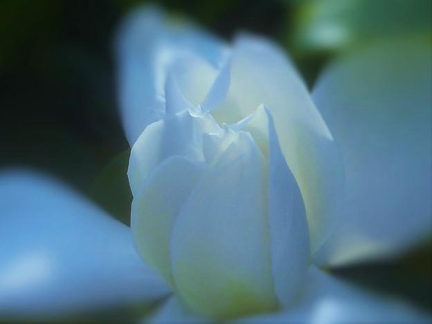 梅雨に咲く 梔子(くちなし)の花
