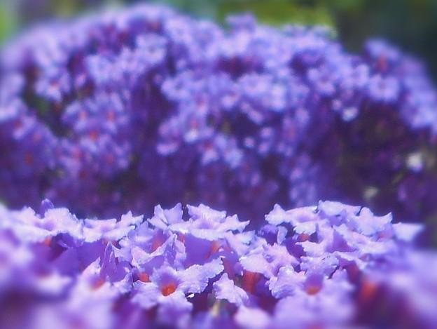 初夏にブッドレア・ダウィディーの花盛り