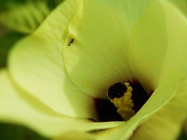 夏の畑に咲く オクラの花と 働きアリくん