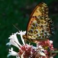 アベリアの花に ツマグロヒョウモン♂
