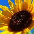 残暑の空に 向日葵の花