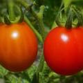 真夏のミニトマト畑にて