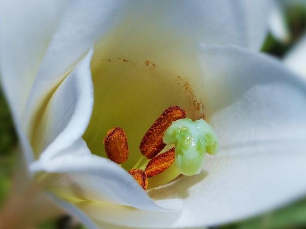 野に咲く 鉄砲百合(白百合)の花