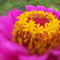 写真: 元気な夏の花 ヒャクニチソウ
