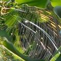写真: 銀杏(ギンナン)とクモと蜘蛛の巣