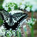ハナニラにアゲハチョウ、ミツバチくんが飛んで来た!