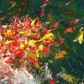 Photos: 秋口の元気な錦鯉たち