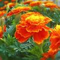 Photos: 元気カラーな夏の花 マリーゴールド