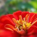 Photos: 赤橙色の百日草