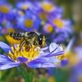 Photos: 秋分の日を過ぎて シオン(紫苑)と元気なハナバチ(花蜂)くん