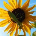 Photos: ヒマワリの花に オオカマキリ
