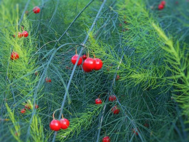 アスパラガス畑の赤い実たち