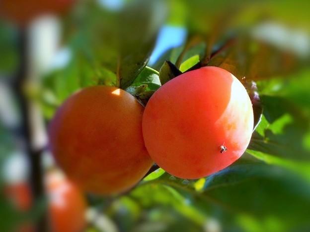 青空に とろけそうな完熟の 熟し柿
