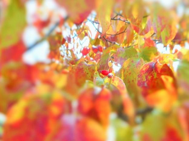 花水木 紅葉の季節