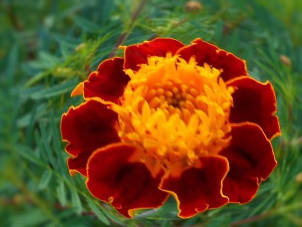 中秋に咲く マリーゴールド