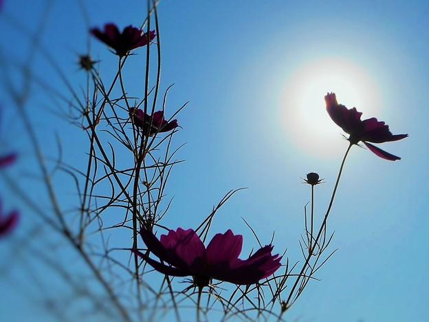 秋の陽と 紅い秋桜